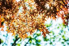 红槭离开与蓝天被弄脏的背景,采取从日本 库存图片