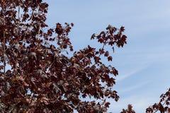 红槭结构树 免版税库存图片