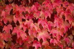 红槭离开落下在砖墙下 免版税图库摄影