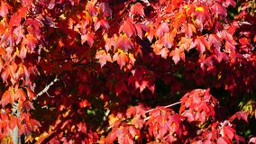 红槭结构树 免版税库存照片