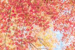 红槭 库存照片