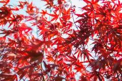 红槭 免版税库存照片
