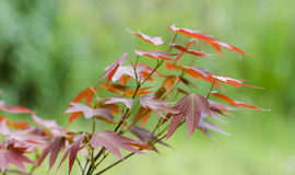 红槭 库存图片
