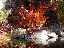 红槭 免版税库存图片