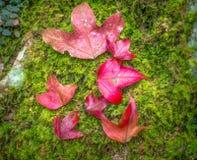 红槭 图库摄影