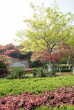 红槭(Acer palmatum Thunb) 免版税库存照片