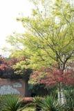 红槭(Acer palmatum Thunb) 库存图片