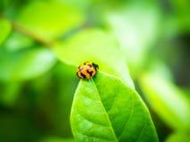 红橙色瓢虫01 库存照片