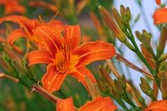 红橙色花,橙色百合,在橙色花的瓣的雨珠 库存图片