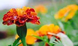 红橙色花 免版税库存图片