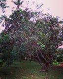 红毛丹树 免版税库存照片