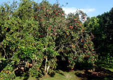 红毛丹结构树 库存图片