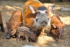 红河肉猪 图库摄影