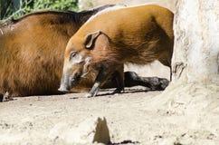 红河肉猪 库存照片