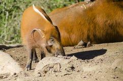 红河肉猪 免版税库存图片