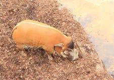 红河肉猪 库存图片