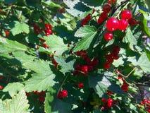 红浆果叶子和莓果照片 免版税库存照片