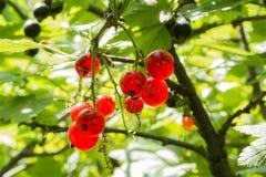 红浆果和叶子(夏天) 库存图片