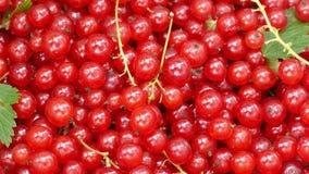 红浆果庄稼  股票视频