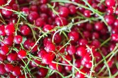 红浆果残破的果子  免版税库存照片