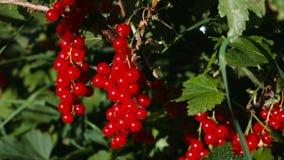 红浆果灌木用成熟莓果 影视素材