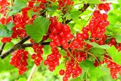 红浆果灌木 免版税库存照片