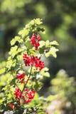红浆果灌木 免版税图库摄影