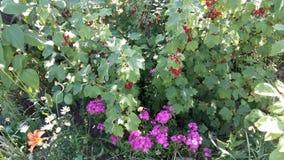 红浆果灌木 库存图片