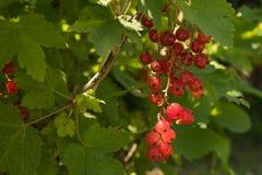 红浆果莓果在一个分支的在叶子中 免版税库存图片