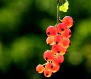 红浆果 库存图片