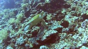 红海在热带珊瑚礁墙壁上的玳瑁游泳 股票视频