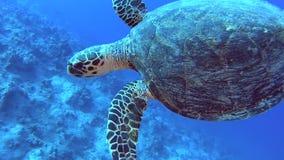 红海在热带珊瑚礁墙壁上的玳瑁游泳 股票录像