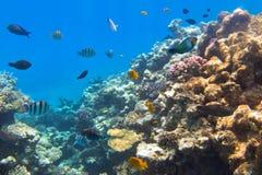 红海珊瑚礁有热带鱼的 库存照片