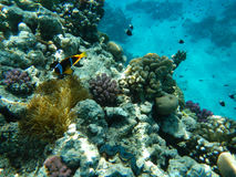 红海珊瑚礁 免版税图库摄影