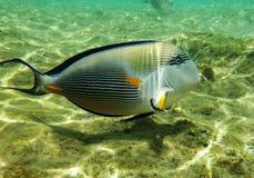 红海的水下的世界,浅深度的一位鱼外科医生,在阳光 免版税库存照片