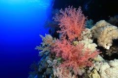 红海的珊瑚礁 免版税库存图片