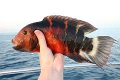 从红海的美丽的热带鱼 免版税库存图片