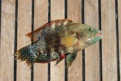 从红海的美丽的热带鱼 库存照片