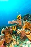 红海的水下的风景 库存照片