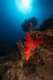 红海的水下的风景 免版税图库摄影