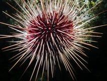 红海野孩子Mesocentrotus franciscanus 图库摄影
