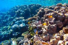 红海水下的珊瑚礁 免版税库存图片