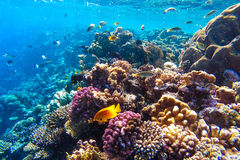 红海水下的珊瑚礁 免版税图库摄影