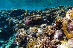 红海水下的珊瑚礁 免版税库存照片