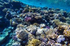 红海水下的珊瑚礁 库存图片