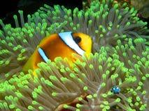 红海Anemonefish (双锯鱼bicinctus)。 免版税库存照片