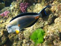 红海sohal矛状棘鱼 库存图片