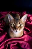 红润埃塞俄比亚猫 免版税图库摄影