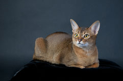 红润埃塞俄比亚猫 库存图片