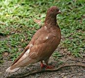 红润的鸽子 库存照片